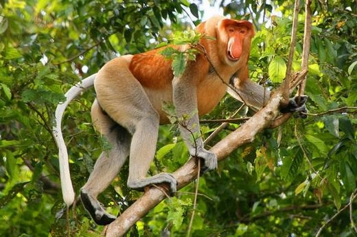 Khỉ mũi vòi là loài chỉ tìm thấy trên đảo Borneo, được biết đến với cái bụng khổng lồ và cái mũi to, dài. Hiện số lượng khỉ mũi vòi đã giảm tới 50% trong 40 năm qua do phá rừng.