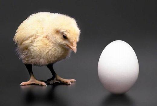 """Với câu hỏi """"gà có trước hay trứng có trước?"""", câu trả lời được đưa ra chính là gà, bởi quá trình tạo vỏ trứng cần thiết phải có protein."""