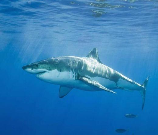 Cá mập trắng khổng lồ có tuổi thọ khá cao, lên tới 50 tuổi.