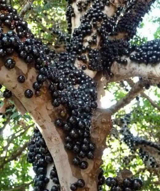 Khác với các giống nho mọc theo chùm, nho thân gỗ lại mọc sát trên thân cây giống như sung hay cà phê. Giống nho này có nguồn gốc từ châu Mỹ.