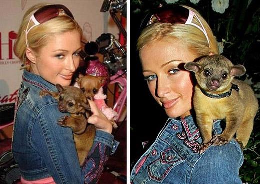 Paris Hilton từng nuôi một chú gấu kinkajou hay còn gọi là gấu hút mật hoa.