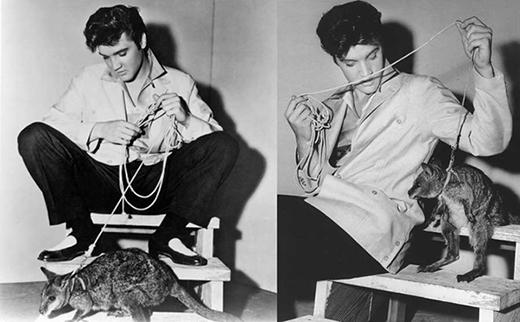 Ông vua nhạc Rock & Roll Elvis Presley từng nuôi một chú kangaroo - món quà do người quen tặng. Sau một khoảng thời gian, việc thuần dưỡng chú kangaroo này không thành công nên Presley đã tặng lại cho một vườn thú ở Memphis.