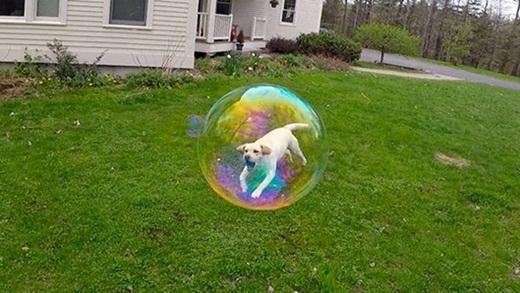 Trong một khoảnh khắc nô đùa, chú chó này trông như đang bị nhốt trong quả bong bóng xà phòng.