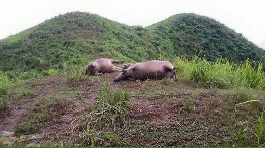 Hà Giang: Kinh hoàng bầy trâu chết la liệt vì sét đánh