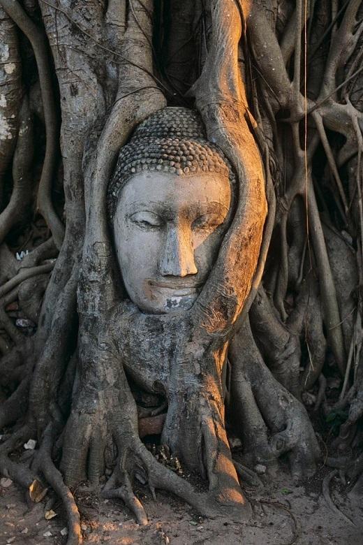 Đầu tượng Phật nằm trong chùm rễ cây Phật giáo ở Wat Mahatat.