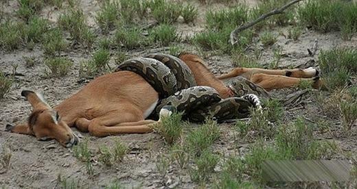 Sau nhiều giờ rình mồi, trăn đã tóm gọn con linh dương tội nghiệp.