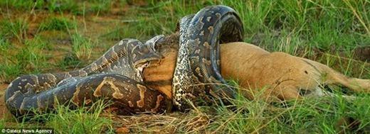 Dù có kích thước lớn hơn rất nhiều lần nhưng con linh dương nhanh chóng bị trăn hạ gục bởi những cú siết uy lực.