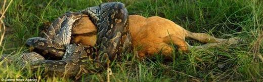 Miệng trăn bắt đầu há rộng để đưa linh dương đầu bò vào, đồng thời thân vẫn siết chặt con mồi.