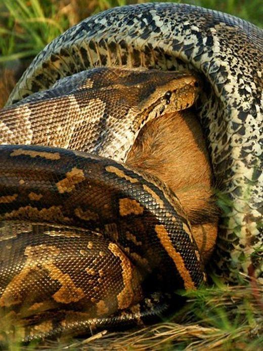 Dù kích thước lớn nhưng trăn vẫn thản nhiên, từ từ đưa linh dương vào bụng.