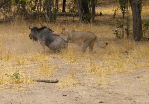 """Trong khi đó, một con linh dương khác cũng đang bị sư tử tấn công. Hình ảnh được ghi lại cho thấy sư tử dường như đã gặp phải đối thủ """"cứng cựa""""."""