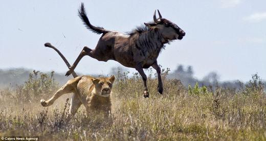 Là động vật yếu thế hơn nhiều so với sư tử, tất nhiên linh dương đầu bò dễ dàng bị khống chế.