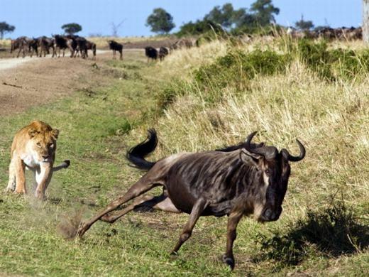 Tuy nhiên, không chấp nhận số phận như linh dương xấu số ở trên, con linh dương đầu bò này kháng cự lại một cách mãnh liệt.