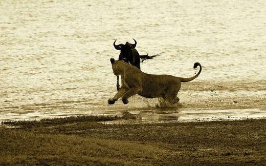 Linh dương bắt đầu vùng chạy thoát khỏi móng vuốt sư tử.