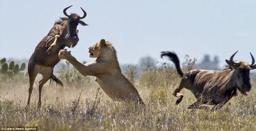 Sư tử đuổi theo trong tình trạng khá mệt mỏi khi bị con mồi kháng cự.