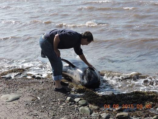 Hồi hộp cảnh giải cứu 16 chú cá voi hoa tiêu bị mắc cạn