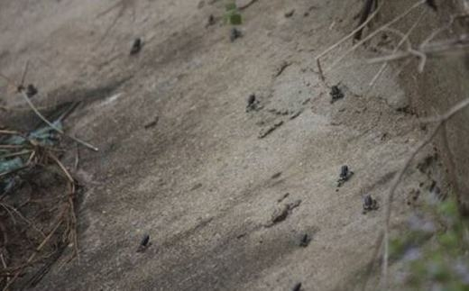 Hàng ngàn ễnh ương xuất hiện tại Tây Ninh: động đất sắp xảy ra?