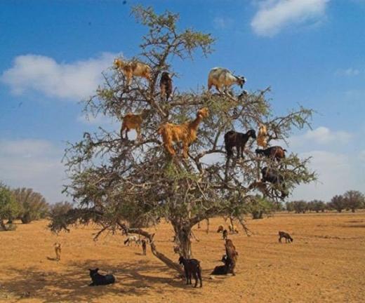 Dê có thể leo cây giống như mèo đấy!