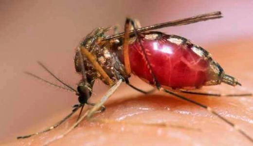 Chỉ có muỗi cái là hút máu vì đây là nguồn protein để sản sinh ra trứng. Muỗi đực không có khả năng này và chúng chỉ thích hút mật hoa, nhựa cây…