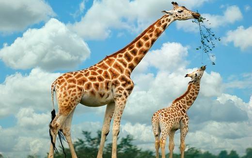 Hươu cao cổ tự làm sạch mắt của chúng bằng chiếc lưỡi dài tới 18inches (45,7 cm) của mình.
