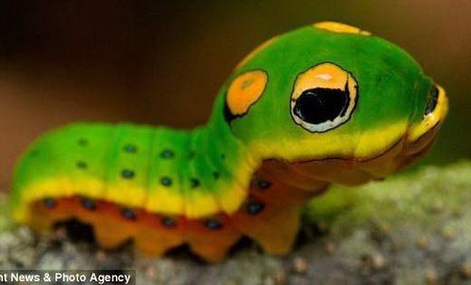 Một vài loài sâu tự ăn chính mình khi chúng không kiếm được thức ăn.