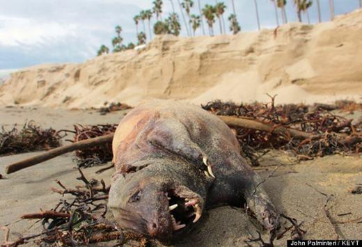 """. Một phóng viên địa phương đã phát hiện con """"quái vật"""" với hàm răng sắc nhọn bị trôi dạt vào bờ biển ở thành phố Santa Barbara, bang California, Mỹ. Tuy nhiên, đến thời điểm hiện tại, người ta vẫn chưa xác định được đây là con gì. Theo Paul Collins – một nhân viên khoa Động vật xương sống của Viện Bảo tàng lịch sử tự nhiên Santa Barbara – thì đây có thể là một con lửng. Thế nhưng, vẫn còn nhiều nghi vấn xoay quanh lí giải này."""