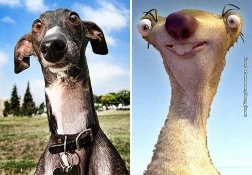 Một chú chó giống Greyhound trông y xì chú lười Sidtrong phim hoạt hình.