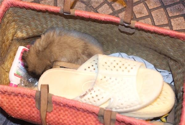 Hình ảnh chú chó nhỏ nằm ngoan ngoãn trong hộp đánh giày.