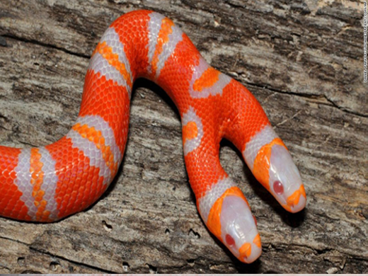 Còn đây là con rắn sữa Honduran cực hiếm. Nó hiếm ở chỗ vừa bị bạch tạng, vừa có 2 đầu kì dị.