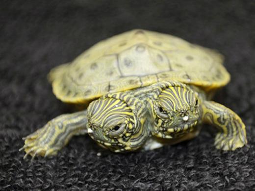 Chú rùa 2 đầu này được sinh ra tại vườn thú San Antonio, bang Texas, Mỹ. 2 cái đầu được đặt tên là Thelma và Louise.