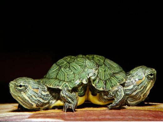 Còn đây là một số chú rùa khác trên thế giới được phát hiện cũng có 2 đầu.