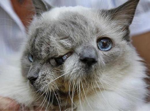 Chú mèo Frank và Louie được sinh ra ở Mỹ này là một trường hợp đặc biệt. Trong khi những động vật 2 đầu khác chỉ sống không quá 2 tháng thì chú sống tới 12 năm.