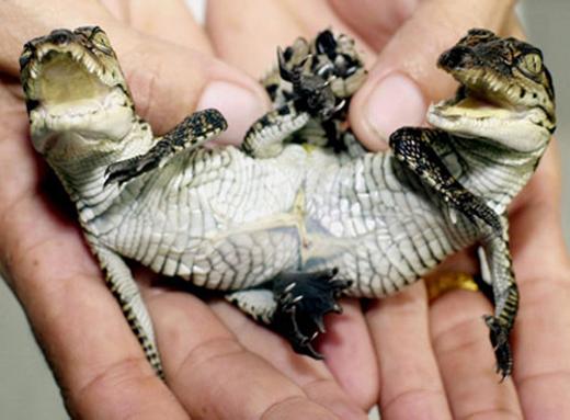 Chú cá sấu sinh đôi với phần thân dính liền nhau chào đời ở nông trại cá sấu Samut Prakarn, Thái Lan.