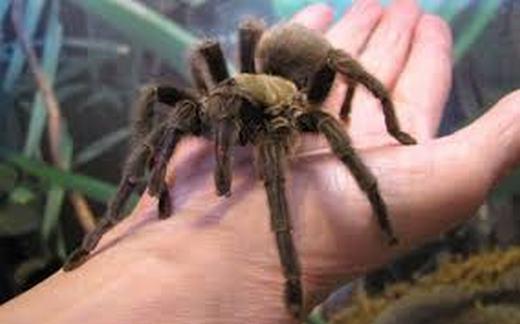 Tarantulas là loài nhện có thể nhịn đói tới 2 năm.
