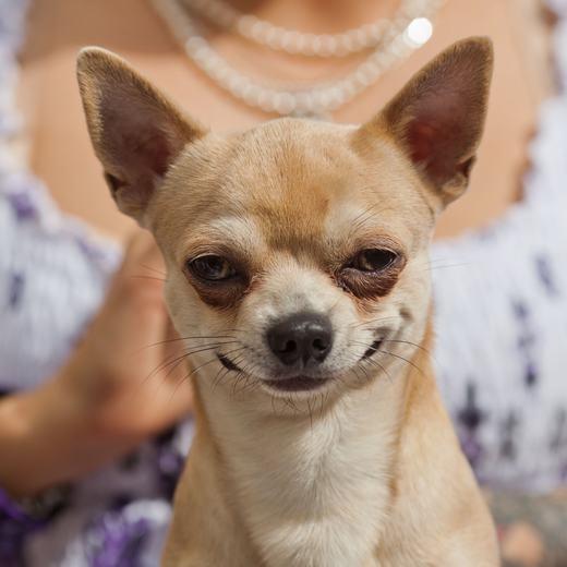Chihuahua có bộ não lớn nhất trong số các loài chó trên thế giới (so với tỉ lệ cơ thể).