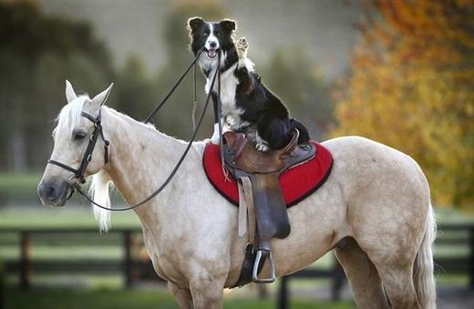 """"""" Ai nói chó thì không cưỡi được ngựa?""""."""