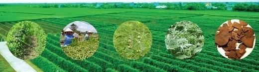 Dự án phát triển vùng dược liệu bền vững theo tiêu chuẩn GACP-WHO đang triển khai tại Nam Định, Hà Giang.