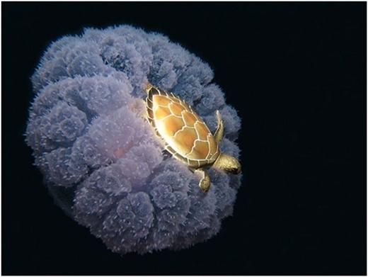 """Rùa vàng """"cưỡi"""" sứa biển đi thăm thú đại dương."""