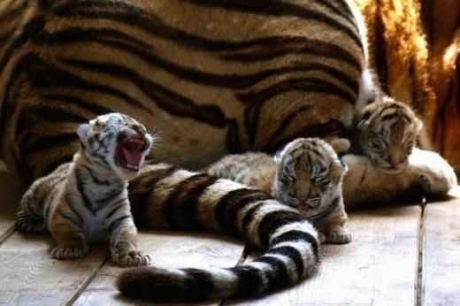 Báo cheetah - sát thủ đồng cỏ