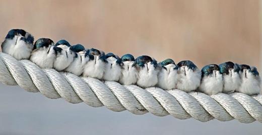 Một bầy chim với từng chú chim Tachycineta bicolor đang ôm bạn đời của nó.