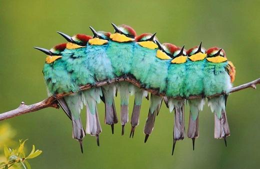 Nhìn từ xa, trông những chú chim này như đang cùng đồng thanh hòa âm bản giao hưởng rộn ràng.