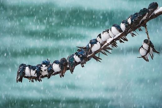 Trong cơn bão tuyết mùa xuân, đàn chim én vẫn nép mình bên nhau.