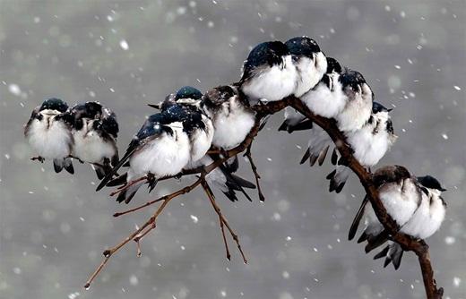 Thời tiết càng khắc nghiệt, bầy chim càng nép chặt vào nhau.