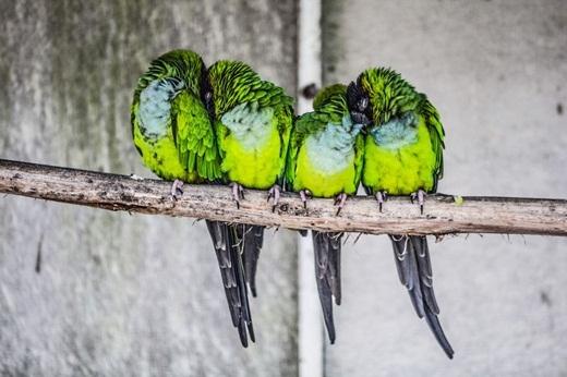4 chú chim dựa đầu vào nhau ngủ trên cành cây.