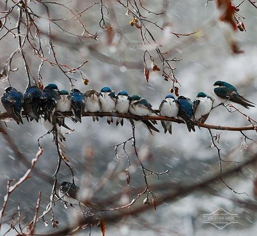 Bầy chim én luôn có nhau trong cơn bão tuyết.