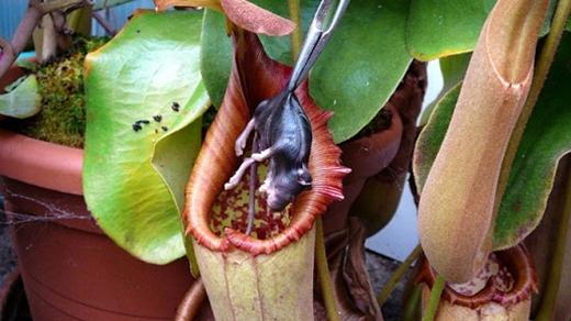 Khi con mồi bị hút vào, nó sẽ dần kiệt sức và chết đuối trong bầu tiêu hóa của cây.