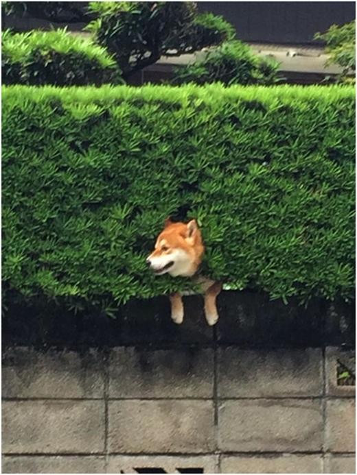 """Chú chó Shiba kẹt trong bụi rậm """"đốn tim"""" cư dân mạng"""