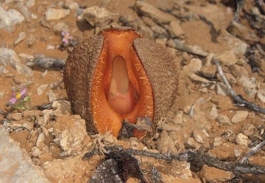 """Đây là loài hoa có hình dáng như bộ phận """"nhạy cảm"""" của phụ nữ với tên khoa học là Hydnora africana."""