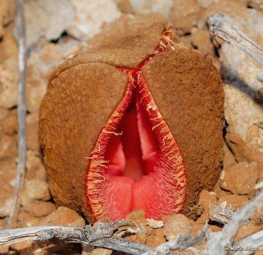 Theo các nhà khoa học, loài hoa khiến chúng ta liên tưởng bậy bạ này là một loài thực vật kí sinh, có nguồn gốc từ các sa mạc ở phía Nam châu Phi. Đặc biệt, khi bám dính vào vật chủ, nó sẽ hút hết các chất dinh dưỡng có trong đó.