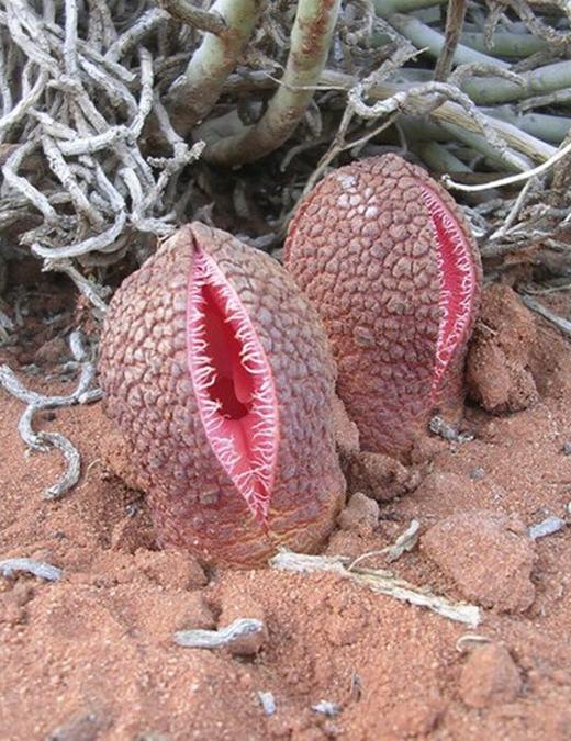 Hydnora africana phát triển dưới lòng đất và sinh trưởng dần. Nó trồi lên mặt đất sau khi hút đủ dinh dưỡng từ cây chủ và bắt đầu hé chiếc nang của mình. Lúc này, một mùi hôi thối bốc lên, và dù nó làm con người khó chịu nhưng lại rất thu hút động vật bay vào.