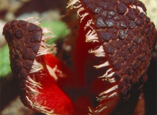 Chúng cũng sẽ bắt con mồi và ăn thịt. Khi có dinh dưỡng, các tua trên miệng hoa bắt đầu thụ phấn, phát triển thành hạt. Sau đó, hạt này bay trong không khí để tiếp tục bám vào những cây khác và sinh sôi.